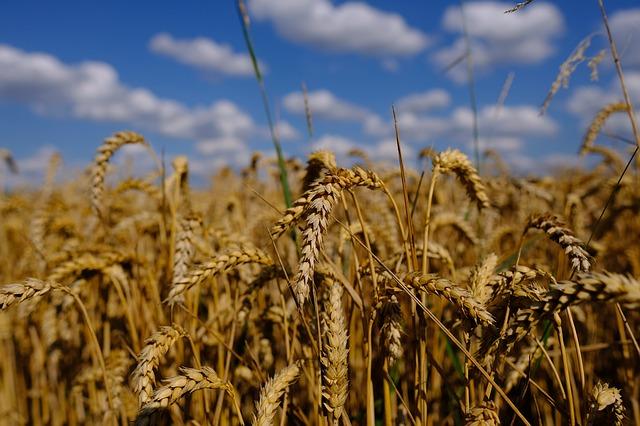 pole se zralou pšenicí.jpg