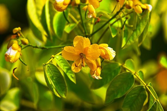 květ stromu senna
